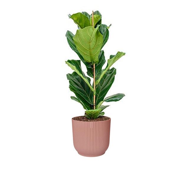 Ficus Lyrata Small in Elho Vibes XL