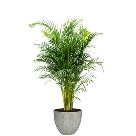 Fleur.nl - Areca Palm Large in Coral Jesslyn XS