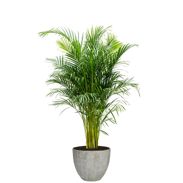 Areca Palm Large in Coral Jesslyn XS