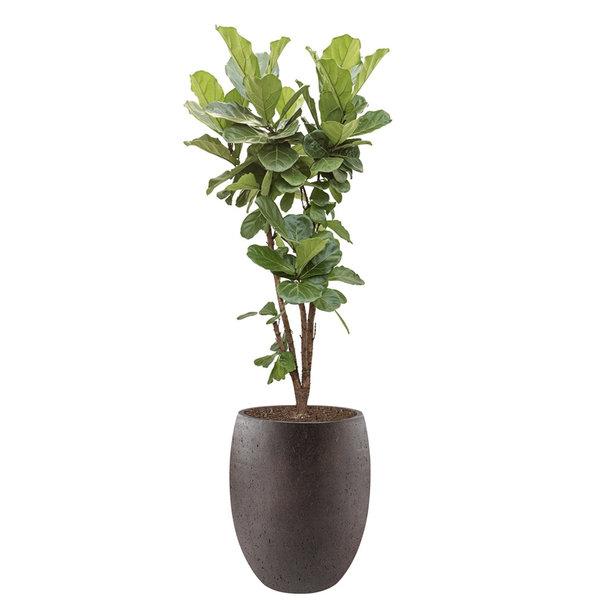 Ficus Lyrata vertakt large in Tall Balloon M