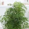 Polyscias Fruticosa Ming small