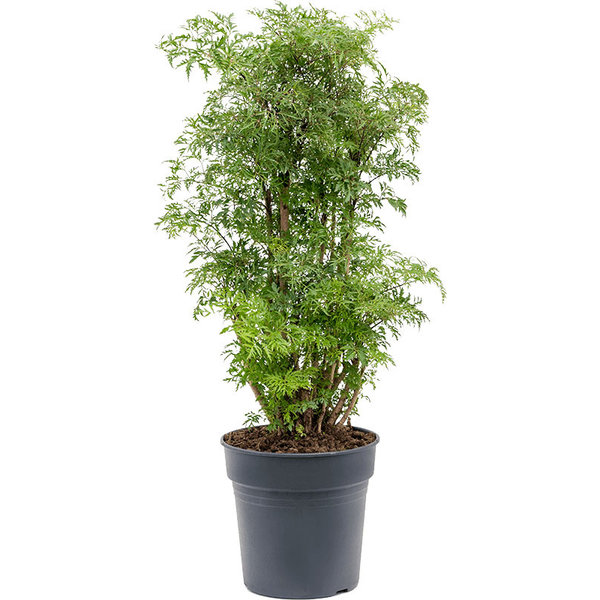 Polyscias Fruticosa Ming medium