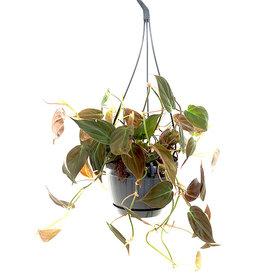 Fleur.nl - Philodendron Micans