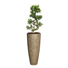 Fleur.nl - Ficus Bonsai Medium in Baq Nature Cast
