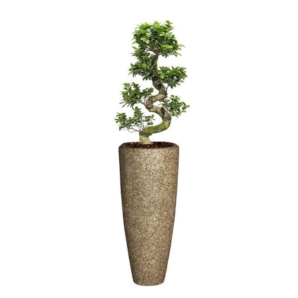 Ficus Bonsai Medium in Baq Nature Cast