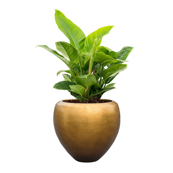 Philodendron Imperial Green Large in Metallic Couple