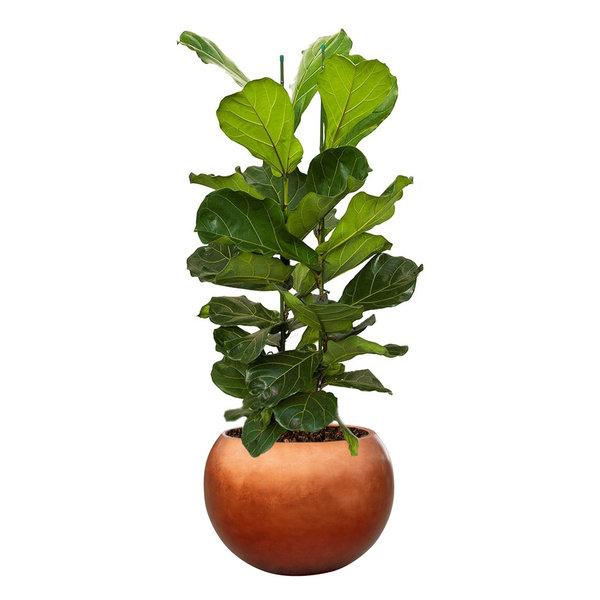 Ficus Lyrata Straight large in Metallic Globe