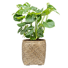 Fleur.nl - Gatenplant Struik Large in Bohemian Bamboo Round