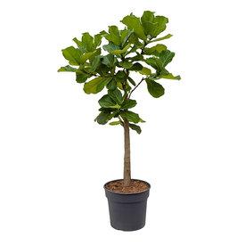 Fleur.nl - Ficus Lyrata op stam large