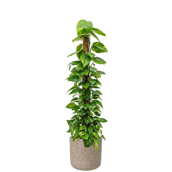 Pottery Pots Scindapsus Aureum Mosstok Small in Charlie L