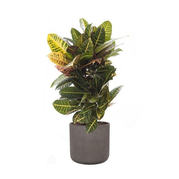 Pottery Pots Croton Struik Nerve Small in Charlie L