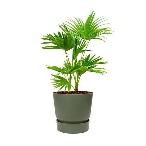 Livistona Rotundifolia Waaierpalm in Greenville Round Ø 19 cm