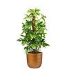 Philodendron Pedatum Mosstok in Retro Gold Ø 35 cm