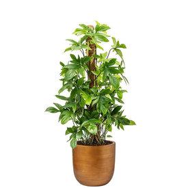 Fleur.nl -Capi Philodendron Pedatum Mosstok in Retro Gold Ø 35 cm