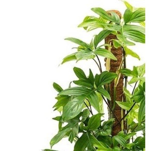 Capi Philodendron Pedatum Mosstok in Retro Gold Ø 35 cm