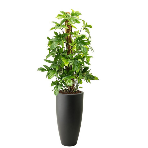 Philodendron Pedatum M in Elho Pure Soft Hoog