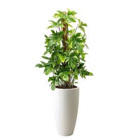 Fleur.nl - Philodendron Pedatum M in Elho Pure Soft Hoog
