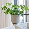 Monstera Gatenplant Struik Large in Ribbed Cody M