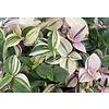 Tradescantia fluminensis 'Quadricolor' - hydrocultuur