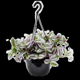 Fleur.nl - Tradescantia albiflora 'Nanouk'