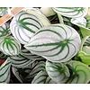Peperomia argyreia Watermeloenplant