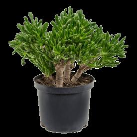 Fleur.nl - Crassula ovata 'Horntree'