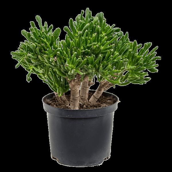 Crassula ovata 'Horntree'