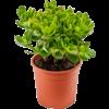 Vetplant 'Crassula'