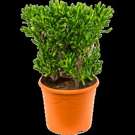 Fleur.nl - Crassula ovata 'Horntree' XL
