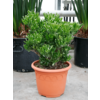 Crassula ovata 'Horntree' XL