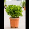 Crassula ovata bush XL