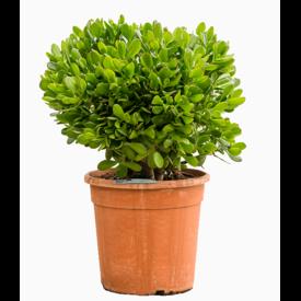 Fleur.nl - Crassula ovata bush XL