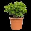 Crassula ovata bush Large