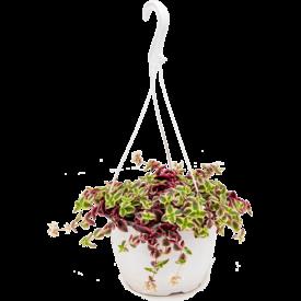 Fleur.nl - Crassula marginalis