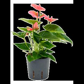 Fleur.nl - Anthurium Sweet Dream - hydrocultuur