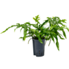 Microsorum diversifolium - hydrocultuur