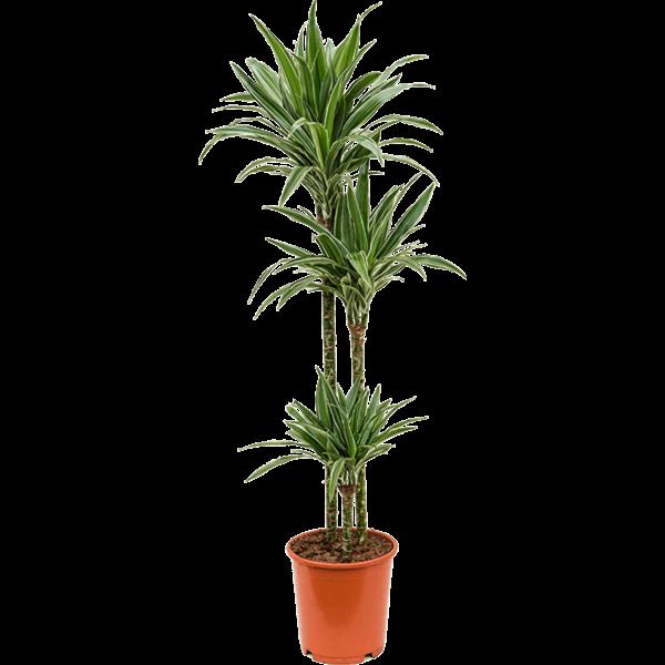 Dracaena Deremensis 'Warneckei' 3-stam Medium