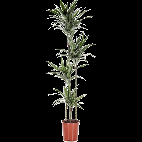Dracaena Deremensis 'Warneckei' 4-stam XL