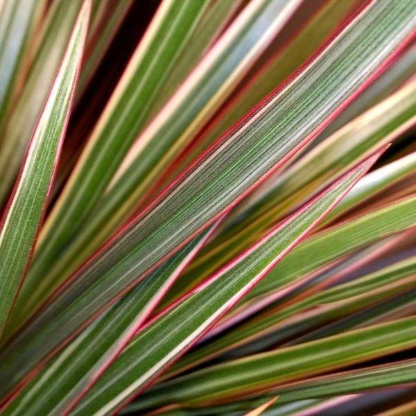 Dracaena Marginata Bicolor Medium