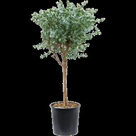 Fleur.nl - Eucalyptus gunnii op stam
