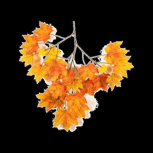 Maple tak Orange