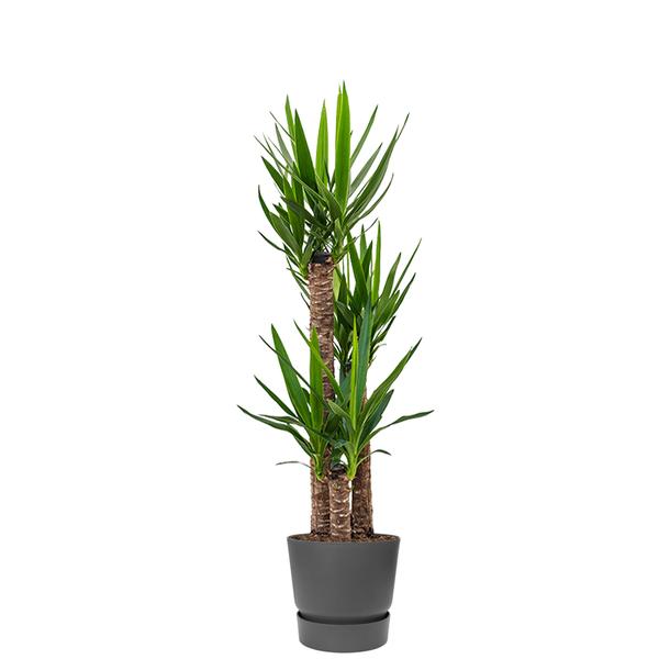 Elho Yucca driestam large in Greenville Round Ø 30 cm