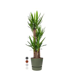 Fleur.nl -Elho Yucca driestam large in Greenville Round Ø 30 cm