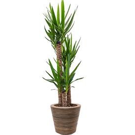 Fleur.nl - Yucca Driestam Large in Drypot Rattan