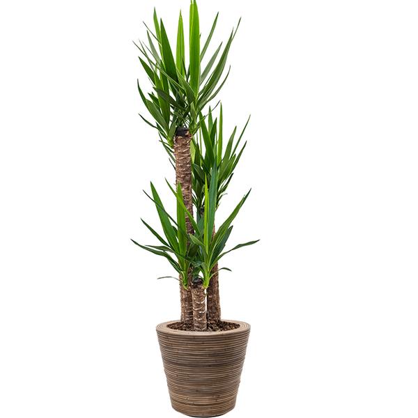 Yucca Driestam Large in Drypot Rattan