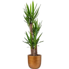 Fleur.nl -Capi Yucca Driestam Large in Nature Retro Ø 35 cm