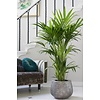 Palm Kentia Howea XXXXL