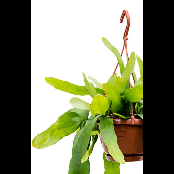 Epiphyllum pumilum small