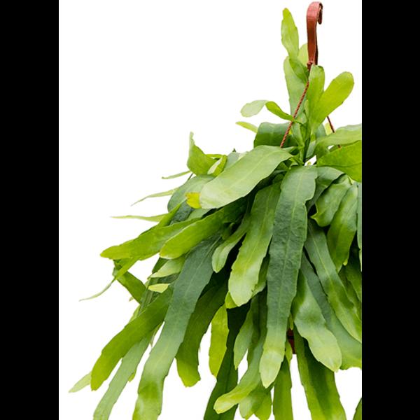 Epiphyllum pumilum medium