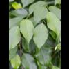 Ficus Exotica Benjamina